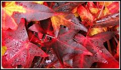 Feuilles d'automne (Les photos de LN) Tags: coloris couleurschaudes teintes mtamorphose nature ferie rouge jaune pourpre brun orange tapis multicolore