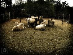 REBAO (Gabriel Contreras Tzintzun) Tags: borregos compaia unidad descanso atardecer reposo guanajuato rancho raza lana