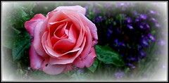 P1150030 Pink Abundance (hartley_hare7491) Tags: pink abundance