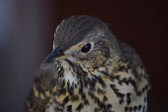 Scilly Isles Thrush (morston_max) Tags: stmartins scilly bird scillyisles thrush birds