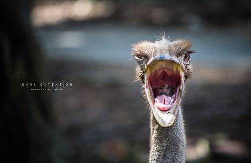 Ostrich can roar