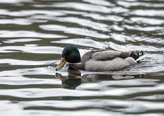 Mallard (grahamh1651) Tags: helstonboatinglake birds gulls ducks geese waterbirds swans