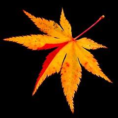 Acer palmatum 'Summer Gold', fall leaf (HansHolt) Tags: leaf blad japanesemaple acerpalmatumsummergold acer palmatum summergold maple esdoorn japanseesdoorn momiji autumn herfst decay discoloration verkleuring macro canon 300d canoneos300d canonef100mmf28macrousm