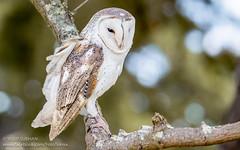 Barn Owl (Yasir Subhan) Tags: barnowl owl commonbarnowl birdofprey australia fullflightbirdsofpreycentre canon7dmarkii
