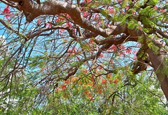USA (Florida-Key West)  Red flowering trees (ustung) Tags: kodak tree blossoms red keywest miami florida us