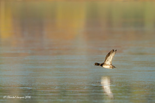 Flying by the Golden Lagoon- Scaup with a Golden Eye :)