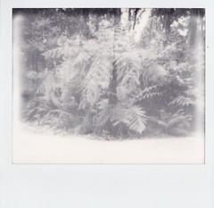 Tree fern (Matthew Paul Argall) Tags: treefern ferntree autofocus polaroidspectra impossibleproject blackandwhite blackandwhitefilm plant plants fern instantfilm unlimitedphotos garden lofi
