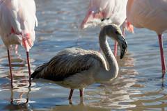 Flamant rose Juvenile (Le Mhaut Sbastien) Tags: oiseaux camargue pont du gau