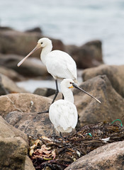 Spoonbill #2 (scilly puffin) Tags: spoonbill islesofscilly