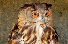 Uil Oehoe (Meino NL) Tags: uil oehoe oehoes leparcornithologiquedepontdegau bubobubo lessaintesmariesdelamer camargue eagleowl owl provencealpesctedazur