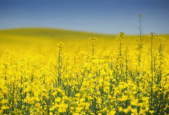 yellow (Rebecca Tifft) Tags: palouse thepalouse yellow yellowflowers yellowfieldofflowers flowers washington canola mustard