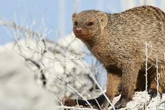 Banded mongoose portrait (thewildlifephotographer) Tags: mongoose