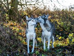 you smell so good! (d@neumi) Tags: siberianhusky siberian husky outdoor drausen hund hunde dog dogs tier animal herrenberg schlittenhunde lumix pansonic g7 bokeh tiefenschärfe nordischehunde