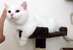 White beast on cat tree #goboogi #chobee #munchkin #cat # # # # # # # # # # # # (Goboogi.Munchkin) Tags:     goboogi  munchkin  chobee  cat