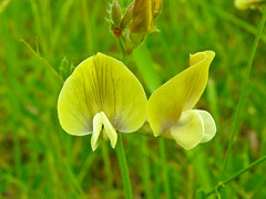 Sweet pea (Lathyrus odoratus) (Sasho Popov) Tags: sweetpea nature