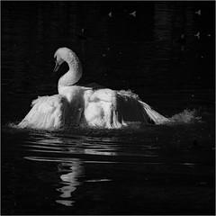 bathing beauty (marneejill) Tags: muteswan swan bathing moody feathers bubbles water