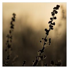 AR164598Crop-B (-AR-) Tags: tegenlicht backlight natuur nature plant stengel stem achtergrond background planten plants struik bush spuimondingwest voorneputten stengels stems