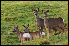 Four Roe Deer (Terry Angus) Tags: deer roedeer doe buck norden rochdale uk