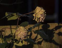 At the dying of the day ... (Scozmo's Photery - On my phone weekdays) Tags: flowers rose garden dying colours