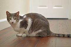 DSC_0084 (kaymann+l+woo) Tags: catsofinstagram cats cute