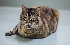 Fat kitty <3 (Nerdgirl1993) Tags: fat cat senior animal pet old rescue shelter adoption tabby brown green roar