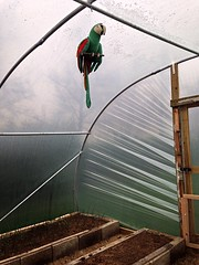 Polly in the polytunnel HWW! (JulieK (finally moved to Wexford)) Tags: 2016onephotoeachday iphone5 polytunnel fun parrot macaw wing hww wingwednesday