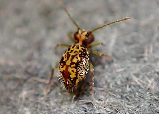 Springtail Ptenothrix maculosa ssp. olympia (2.5mm)