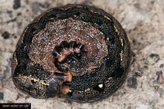Peridroma  saucia (frillicca) Tags: 2012 bruco bug caterpillar falena farfallanotturna insect insetto larva lepidoptera lepidottero macro macrofotografia moth noctuidae nottuide october ottobre pearlyunderwing peridromasaucia pest roma variegatedcutworm insetti