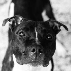 Chevy03Dec1600010-Edit.jpg (fredstrobel) Tags: dogs pawsatanta phototype atlanta blackandwhite usa animals ga pets places pawsdogs decatur georgia unitedstates us