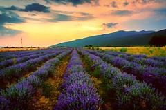 Lavender Dreams (sfabisuk) Tags: lavender shipka plovdiv bulgaria sunset field travel explore
