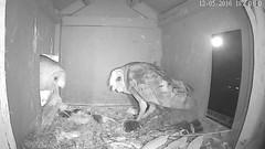 _1840_Yes Jasper I'm here.. think will take a rat though... (Birder23) Tags: barnowlmalecall jasper didi barnowls barnowlnesthouse