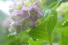 Hydrangea (love_child_kyoto) Tags: professional masterphotos takenwithlove mindigtopponalwaysontop マスター写真 dreamlikephotos takenwithhardwork
