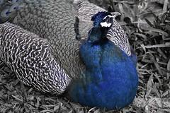 #76 Something blue (Melanie Delgado Phillips) Tags: blue naturaleza color colour nature azul nikon feathers peacock selection seleccin pavoreal plumas d3100 113picturesin2013