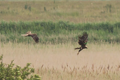 Marsh Harrier Explored 10/7/13 -1483 (WendyCoops224) Tags: canon eos marsh a7 harrier minsmere rspb 600d 100400mml