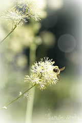 Summers busy days (Sandie Aroha Photography) Tags: summer yellow lemon pretty days bee busy