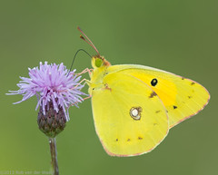 So fragile .... (robvanderwaal) Tags: nature netherlands butterfly nederland butterflies natuur vlinders vlinder luzerne 2013 coliashyale palecloudedyellow geleluzernevlinder rvdwaal robvanderwaalfotografienl