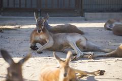 kangaroo (caz76KOBE) Tags: park animal canon eos zoo kobe dslr  hyogo  6d  ef70200mmf28l eflens  eos6d canonprimelens   ef70200mmf28lisiiusm canonef70200mmf28lisiiusm ojizoopark