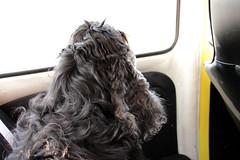 221 av 365 (Yvonne L Sweden) Tags: curly higgins cockerspaniel olddog lockig 365foton 3652013 oborstad august232000november252014