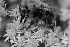 *** (dmitry_ryzhkov) Tags: bw white black macro animals photography photos russia moscow sony insects bee wasps bombus slta77