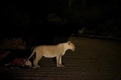 2013-08-29 at 21-54-12 (Namibia Endless Horizon) Tags: kill lion lodge nightsafari damaraland grootberg namibianamibia