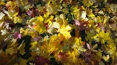 Ruska (KamalaKala) Tags: autumn tree leaf maple october colours puu syksy vaahtera lehti ruska värit lokakuu