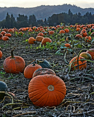 Pumpkin Patch (romamar76) Tags: fall field oregon island pumpkins harvest pumpkinpatch hdr sauvie