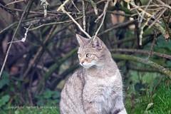 Wilde kat (norbert93) Tags: duitsland anholt wildekat anholterschweiz