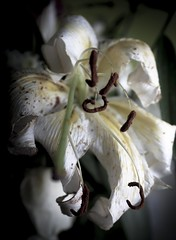 Forever young. (cjannonephoto) Tags: white flower love beautiful dark tiger innocent silence lilly wishes dying fragile heartbreak frail wordless