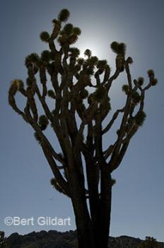 Preserve hosts huge Joshua Trees