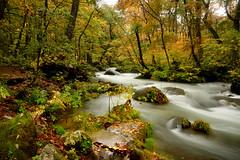 DSC_0608 奧入瀨溪~溪瀑之美。絲絲入扣 (michaeliao27) Tags: autumn japan natural 楓樹 秋季 自然生態 奧入瀨溪natural 日本東北青森縣