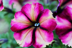 Petunia (thomask8) Tags: pink flowers blue plants white flower color green nature floral canon garden outdoors photography october colorado colorful bokeh gardening ngc bloom petunia blooming photoshopelements naturescenes gardennature simplyflowers vision:plant=0966 vision:flower=0969