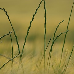 Un brin de beauté **** (Titole) Tags: green yellow squareformat grasses thumbsup unanimouswinner thechallengefactory storybookwinner friendlychallengessweep titole nicolefaton