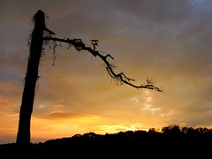 Scythe (David Hoffman '41) Tags: sunset sky storm tree nature silhouette pine rural death virginia colorful natural distorted time decay ominous country agony trunk lightning bent process angular limb twisted fathertime omen symbolism scythe truncated bole charlottecourthouse charlottecounty
