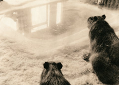 Capybaras! (Spitting Doc) Tags: wien kodak royal agfa clack bromesko